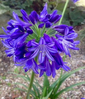 Agapanthus northen star